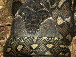 Diamond Carpet Python Nsw Carpet Vidalondon