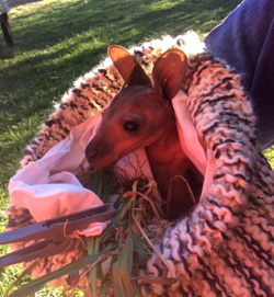 how to get wallaby joey to take bottle